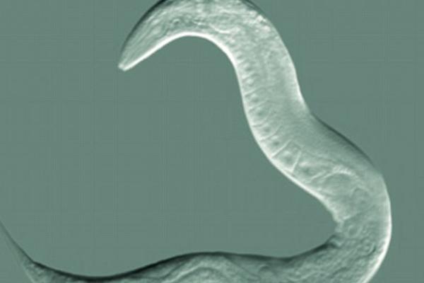 التحكم بالمدى العمري والصحة في ديدان وثدييات