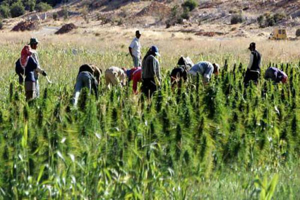 زراعة الحشيشة هل تشرع في لبنان أم لا؟