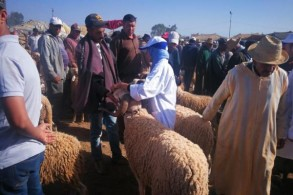 المغرب: عرض الأغنام والماعز بمناسبة عيد الأضحى يناهز 8 مليون رأس