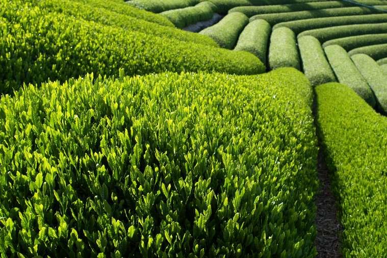 حقول من الشاي الاخضر