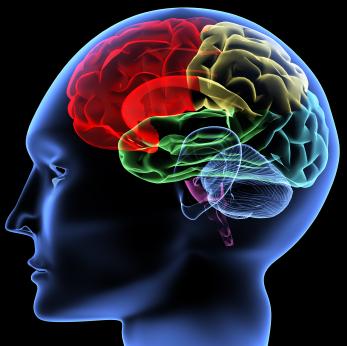 صورة تفصيلية لأقسام الدماغ