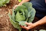 دراسة: نبات الكرنب يوقف خطر سرطان الأمعاء