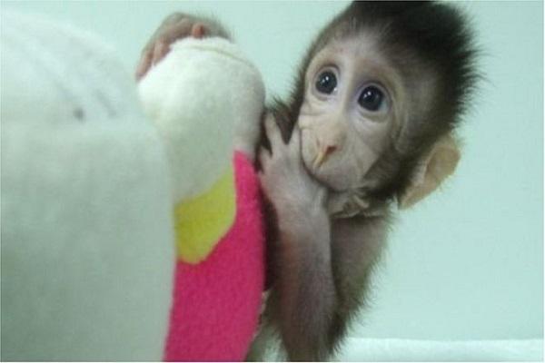 القردة المستنسخة