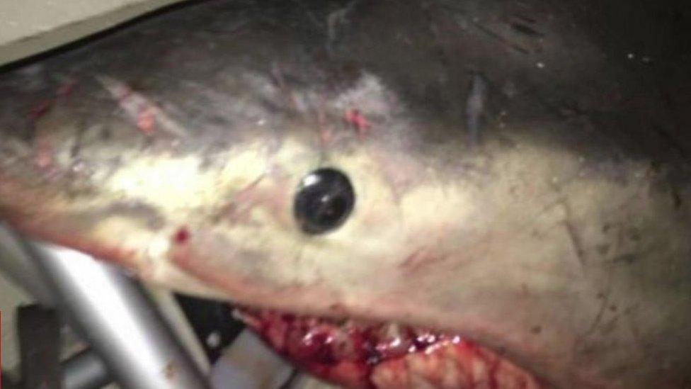 قرش أبيض يهاجم صياد أسترالي ويقفز داخل قاربه