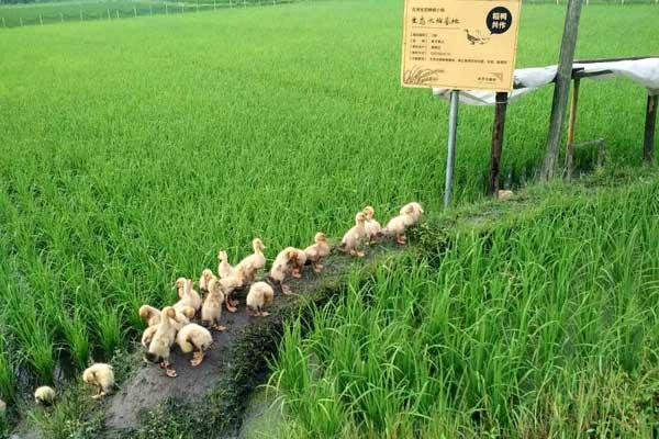 الصين تضع خارطة طريق للتنمية الزراعية الخضراء