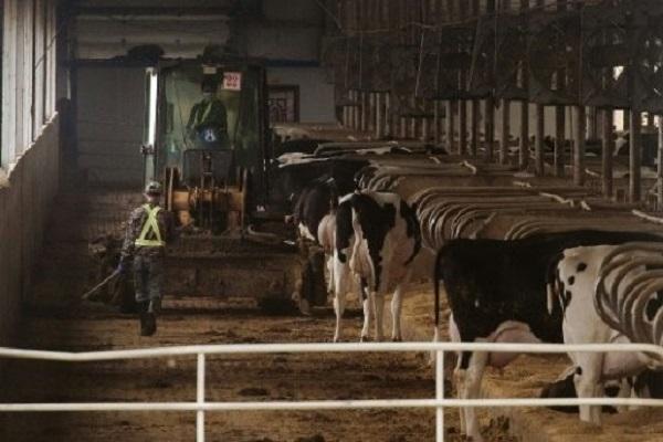 مزرعة أبقار في غانان بالريف الصيني