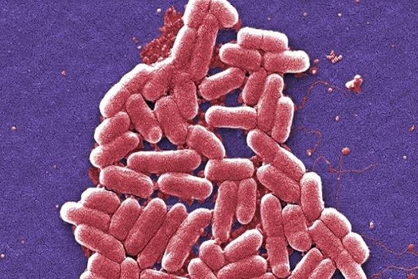 بكتيريا mcr-1