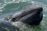 التغير المناخي قد يكون السبب وراء نفوق مزيد من الحيتان الرمادية