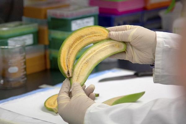 سباق بحثي لإنقاذ الموز من الانقراض