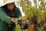 نبيذ تونس يعود إلى كؤوس الذواقة