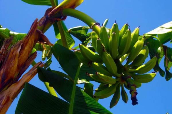 يشكل الموز الغذاء الرئيسي في العديد من البلدان الفقيرة