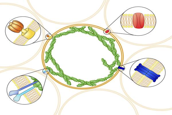 رسم تخطيطي لليبوسوم كبير(قطره عشر المليمتر) ويظهر قدرته على الارتباط بمختلف أنسجة الجسم الحي