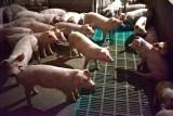 الصين تقضي على 200 ألف خنزير لمكافحة حمى الخنازير