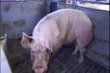 الصين: مخاوف من تفشي حمى الخنازير الأفريقية شمال شرق البلاد