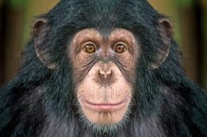 كيف تزيد مشاهدة الأفلام من الألفة بين قردة الشمبانزي؟