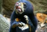 الدببة قادرة على محاكاة تعابير الوجه كالبشر