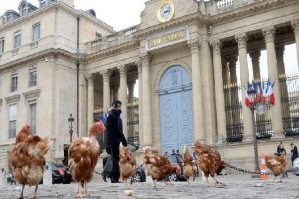 تظاهرة للدجاج أمام البرلمان الفرنسي