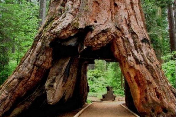 شجرة النفق في كاليفورنيا