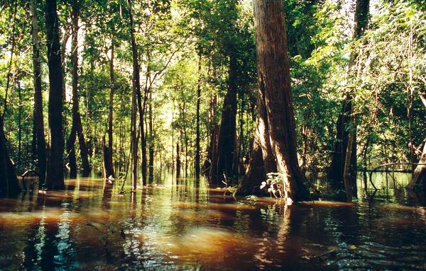 الكثير من أشجار الغابات الاستوائية مهددة بالقطع