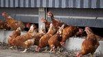 نفوق عشرات آلاف الدجاج جراء تفشي انفلونزا الطيور في العراق