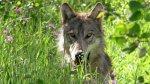 الذئب لم يعد من الأنواع المحمية في الولايات المتحدة