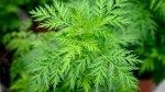 منظمة الصحة العالمية تقرّ بروتوكول الأدوية العشبية ضد كورونا