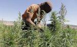 النيجر تضبط كمية قياسية من صمغ القنب المهرب من لبنان