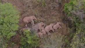 قطيع من الفيلة يذهل العلماء برحلته الملحمية