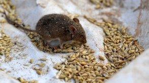 الفئران تجبر السلطات في أستراليا على إجلاء آلاف المسجونين