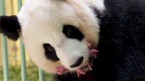 دب الباندا: ولادة توأم لدبة عملاقة في حديقة حيوانات فرنسية