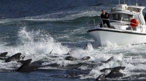 مجزرة تودي بنحو 1400 دلفين في يوم واحد وتثير غضباً واسعاً