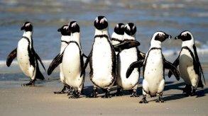 سرب من النحل يقتل عشرات من طيور البطريق المهددة بالانقراض