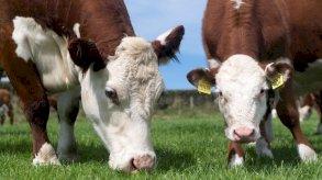الصين تحظر استيراد لحوم الأبقار البريطانية بسبب مخاوف من تفشي جنون البقر
