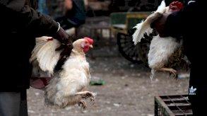 مخاوف من تزايد الإصابات البشرية بسلالة متحورة من إنفلونزا الطيور في الصين
