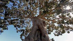 237 شجرة معمرة ونادرة في عسير بالسعودية