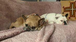 تطور جديد في قضية سرقة كلاب ليدي غاغا