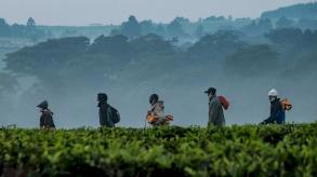 تغير المناخ ظاهرة ستدمر إنتاج الشاي في كينيا