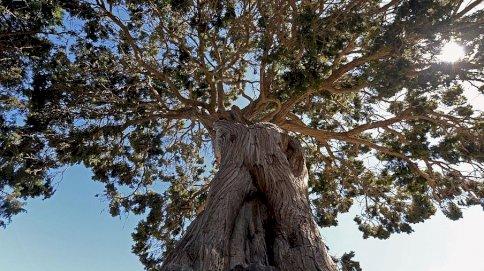 إحدى الأشجار المعمرة في السعودية